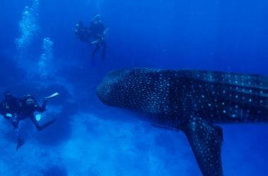 Silversonic passengers' incredible experience - swimming with a whale shark