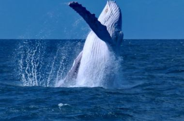Migaloo the celebrity white whale wows Silversonic!